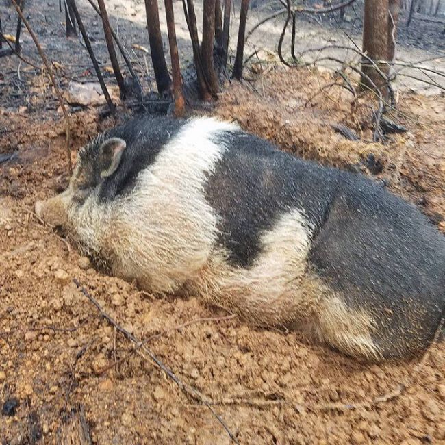 Family Reunites With Pet Pig After Their Home Is Destroyed By Wildfire (7 pics)