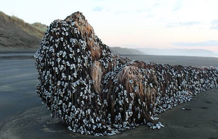 Barnacle Covered Shaggy Object Washes Up On A New Zealand Beach (3 pics)