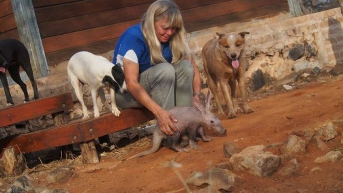 Orphaned Baby Aardvark Gets A New Home (14 pics)