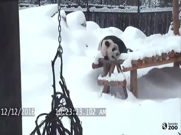 Toronto Zoo Giant Panda Da Mao Plays In Snow December 2016