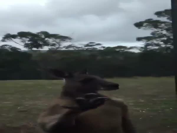 Kangaroo Comes Looking For The Man Who Punched Him