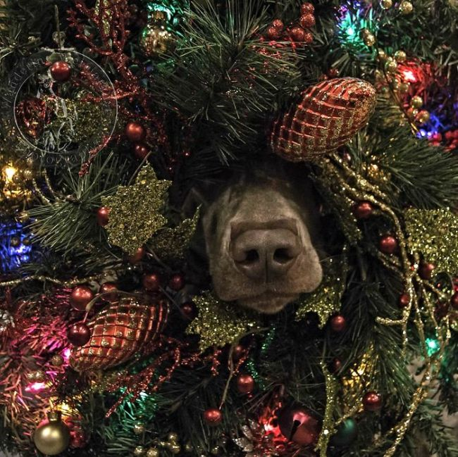 These Pets Really Hate Christmas (35 pics)