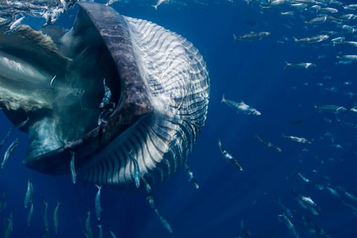Diver Almost Gets Swallowed By A Massive 40 Ton Whale (8 pics)