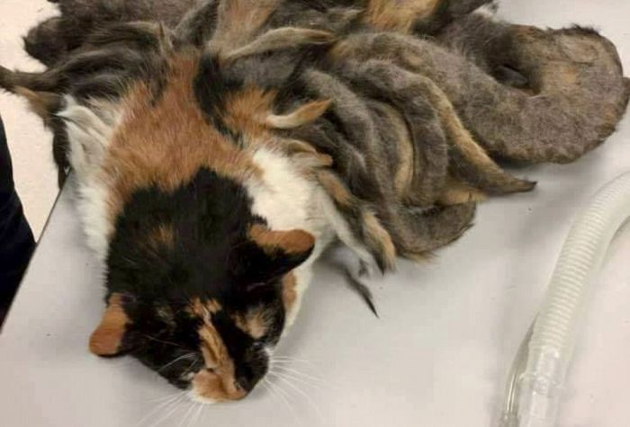 Abandoned Cat With Dreadlocks Gets A Makeover (6 pics)