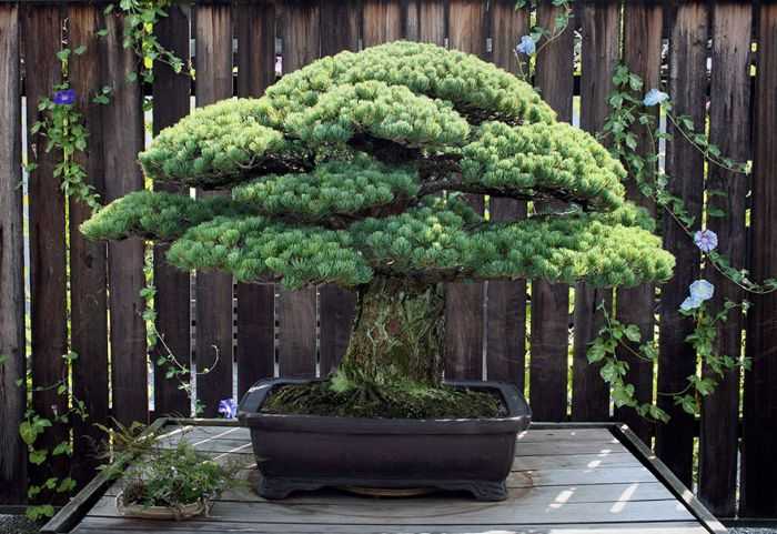 This 391 Year Old Bonsai Tree Survived Hiroshima (2 pics)