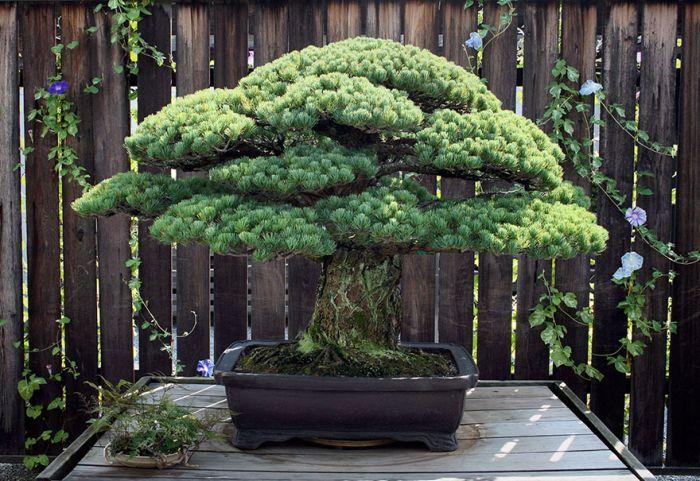 This 391 Year Old Bonsai Tree Survived Hiroshima (2 pics)