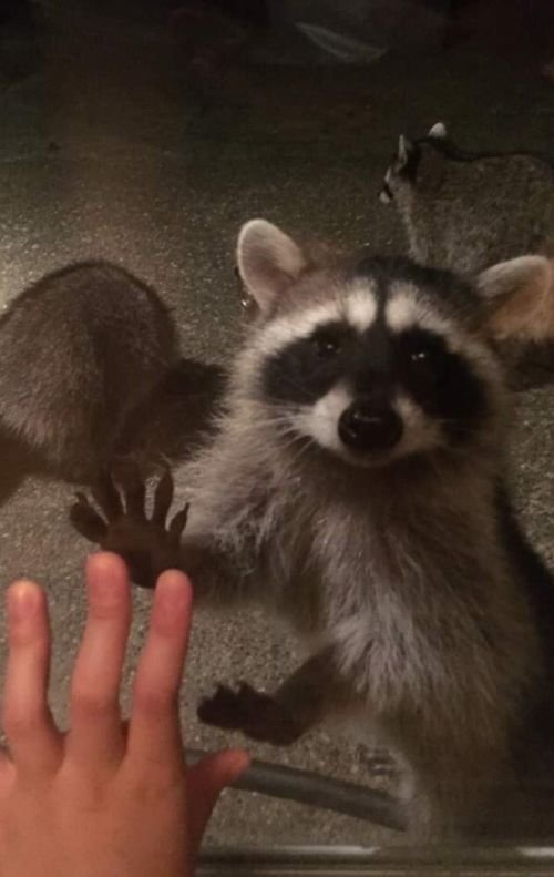 This Woman Gets Visited By A Group Of Raccoons Every Day (3 pics)