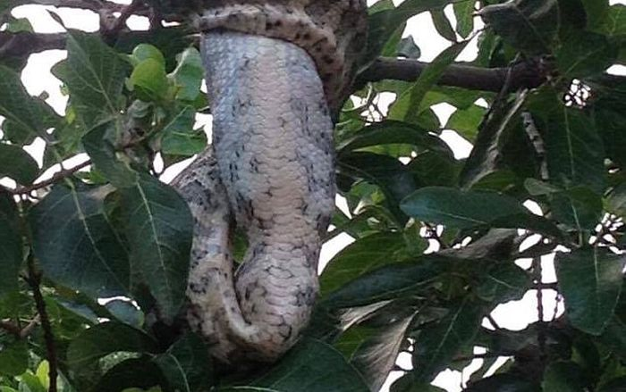 Python Swallows A Possum Whole After Squeezing It (4 pics)