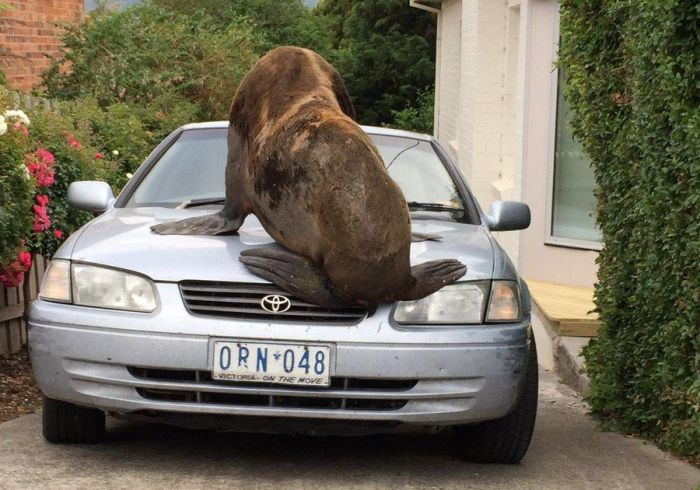 Seal Crushes A Parked Car (3 pics)