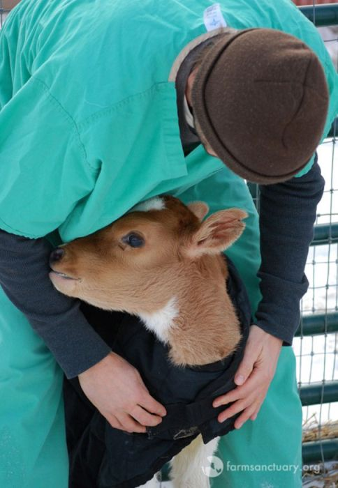 Woman Falls In Love With Tiny Unwanted Cow At An Auction (9 pics)
