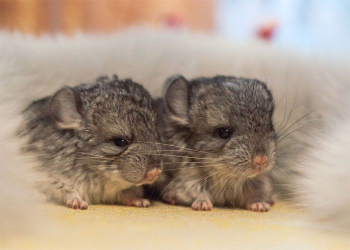 These Baby Chinchillas Will Melt Your Heart (19 pics)