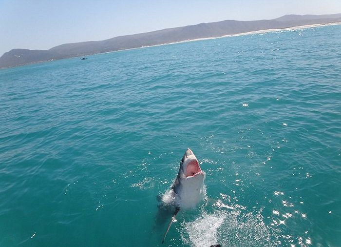 Great White Shark Leaps Out Of The Water And Terrifies Tourists (4 pics)