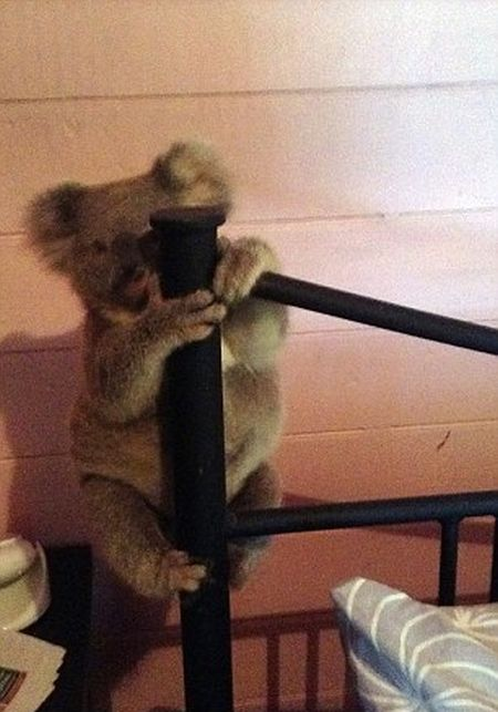 Australian Couple Come Home To Find Baby Koala In Their Room (3 pics)