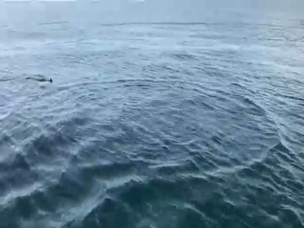 Mako Shark 7 Miles Off Indian Rocks