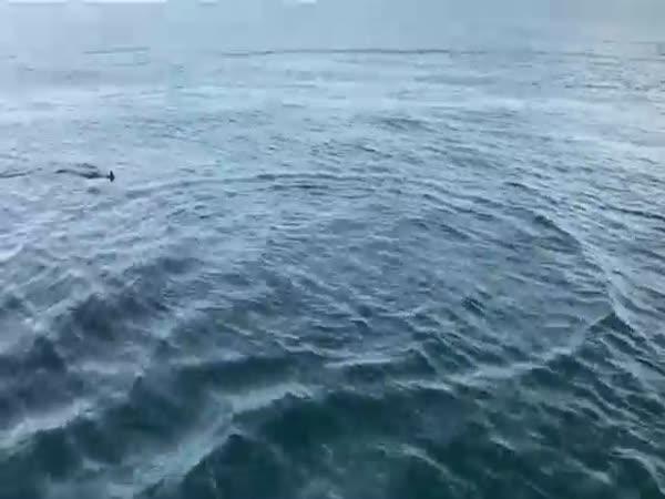 Mako Shark 7 Miles Off Indian Rocks