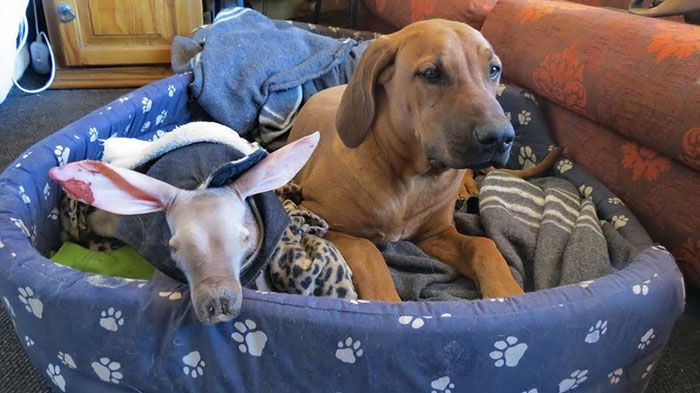 Adopted Baby Aardvark (10 pics)