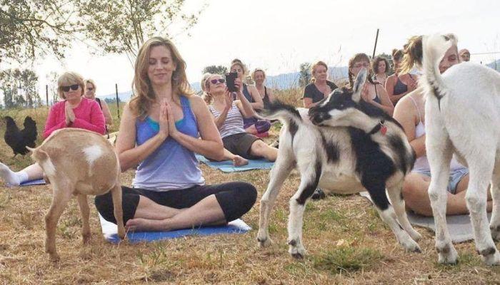 Goat Yoga Is The Latest Craze Among American Women (12 pics)