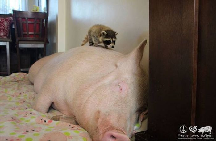 What Happens When You Take In A Miniature Pig (27 pics)