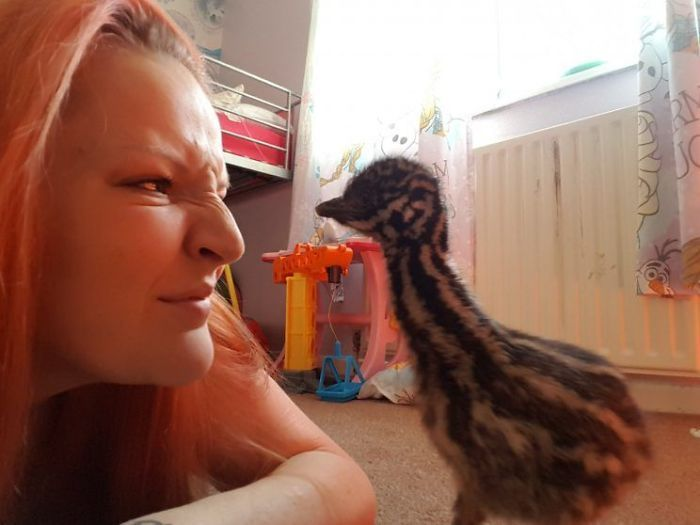 Family Gets A New Pet After Emu Egg Hatches (8 pics)