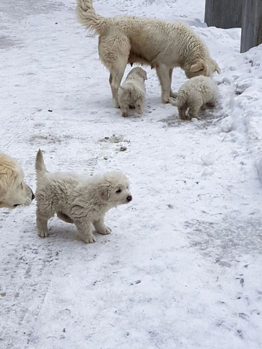 Puppies Found Alive After Being Buried By An Avalanche (5 pics)