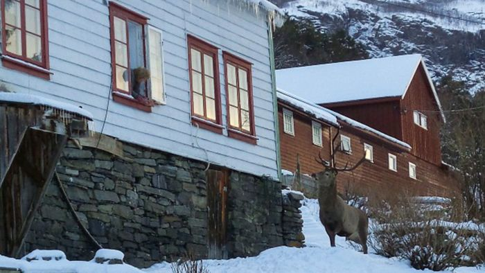 Rescued Deer Becomes A Local Celebrity In Norway (3 pics)