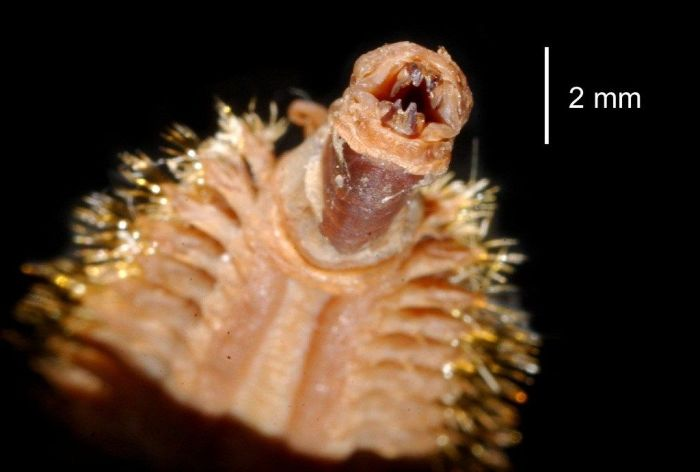 This Antarctic Scale Worm Will Haunt Your Dreams (4 pics)