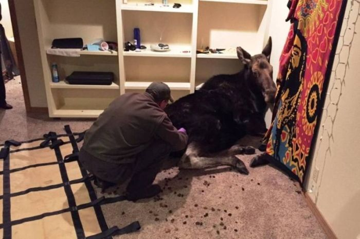 Man Finds Random Moose In His House (3 pics)