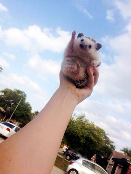 Hedgehogs Don't Get Enough Credit For Their Cuteness (39 pics)