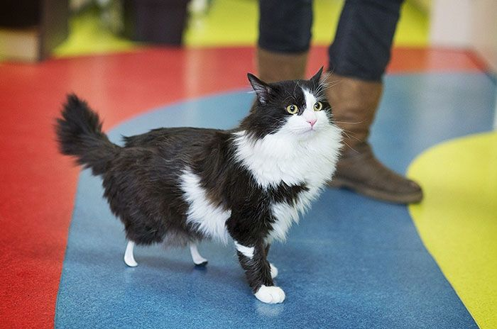 Amputee Cat Gets Some New Legs And A Second Chance (10 pics)