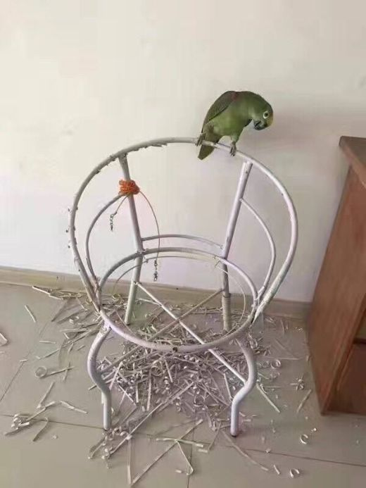 The Downside Of Being A Parrot Owner (2 pics)