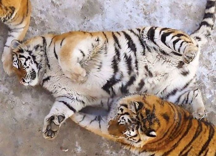 These Tubby Tigers Are Undeniably Adorable (6 pics)
