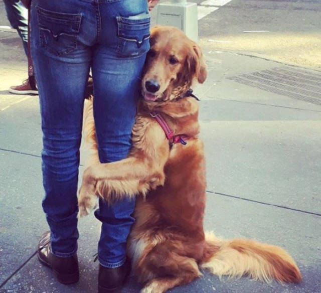 Cute Golden Retriever Loves Giving Out Free Hugs (10 pics)