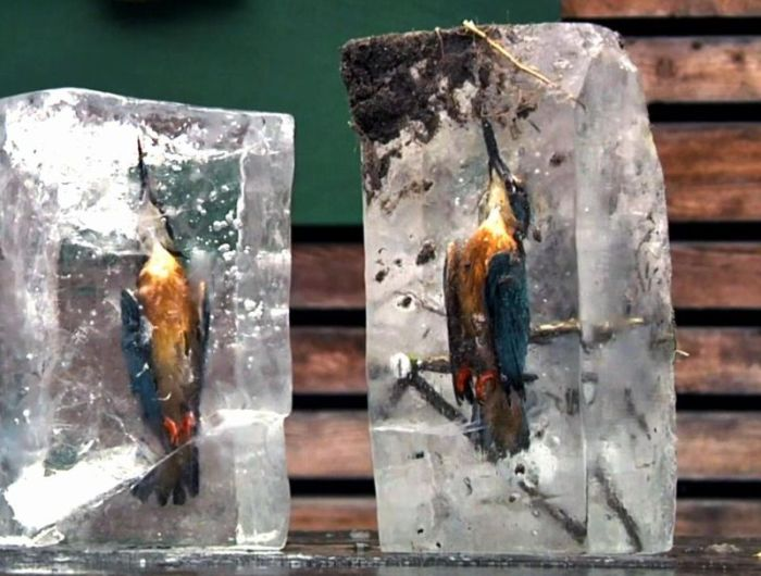 Kingfishers Found Frozen In Ice (3 pics)