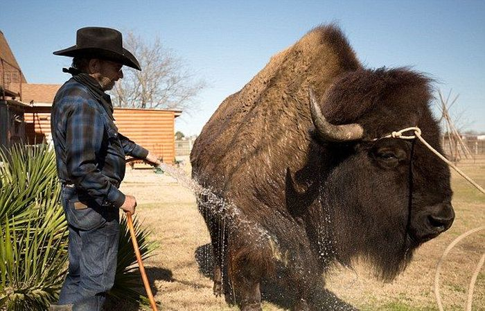 This Texas Couple Has A Bison In Their House (13 pics)