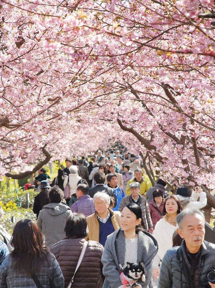 Cherry Blossom Season In Japan Is Beautiful (6 pics)