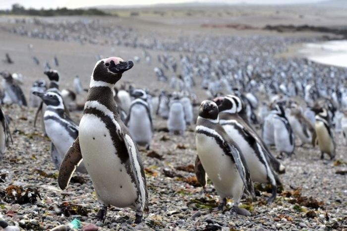 Fish Draw One Million Penguins To Peninsula In Argentina (4 pics)