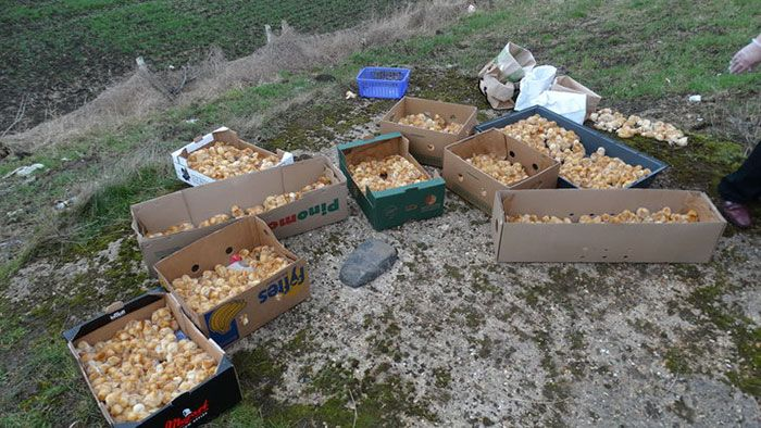 Someone Just Left 1,000 Tiny Chicks Alone In A Field (3 pics)