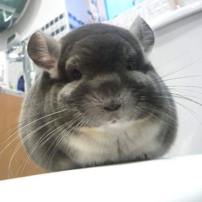 These Chinchilla Butts Look Too Round To Be Real (13 pics)