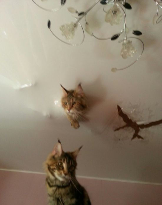 Cats And Ceilings Don't Mix (3 pics)