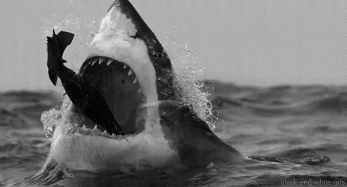 Whether You Like It Or Not, Sharks Rule The Water (16 gifs)