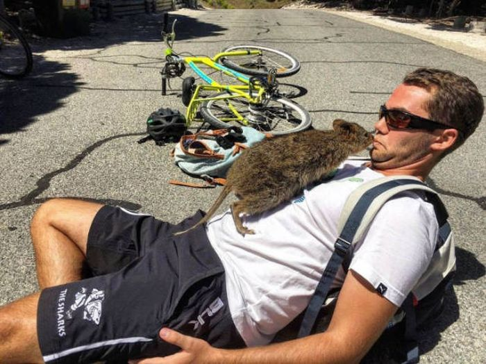 Man And Quokka Fall In Love At First Sight (4 pics)