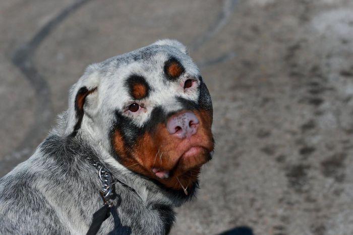 Unusual But Adorable Looking Animals With Vitiligo (15 pics)