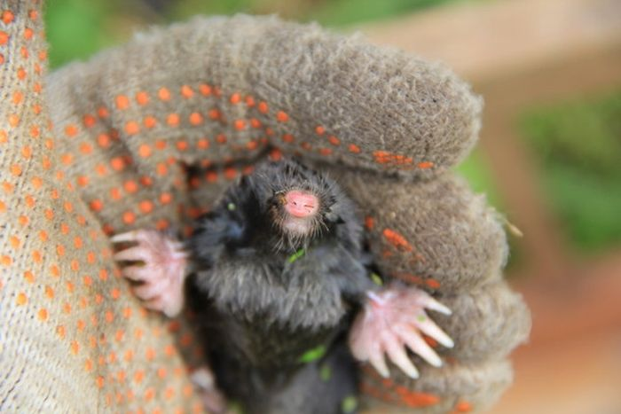 Dried Up Moles Discovered And Saved (5 pics)
