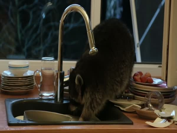 Raccoon Washes Dishes