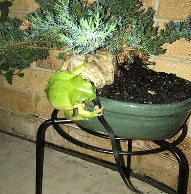 Green Tree Frog Takes Down A Snake In Queensland (3 pics)