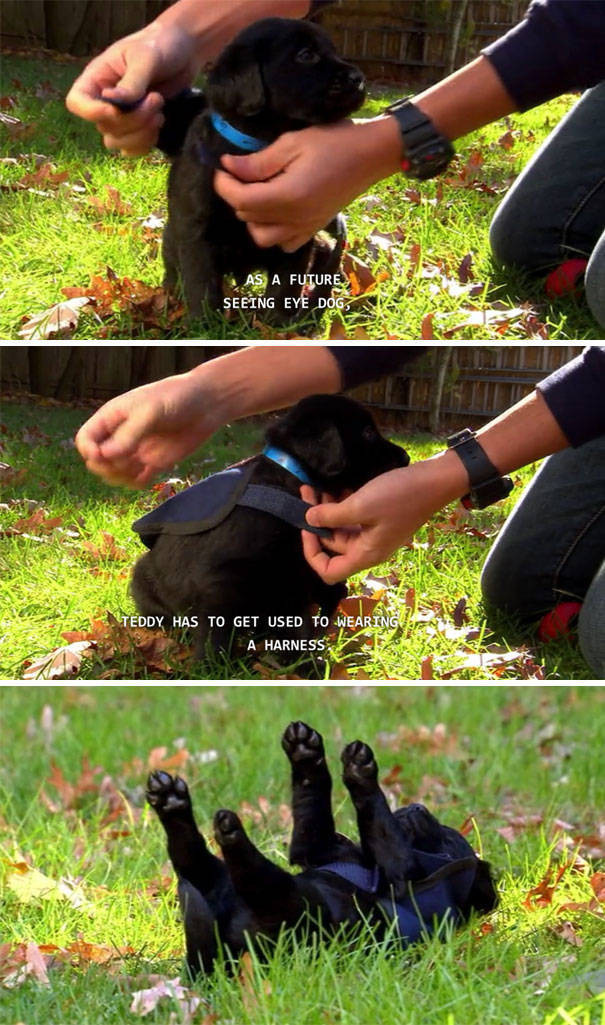 When Service Dogs Start Their First Day On The Job (32 pics)
