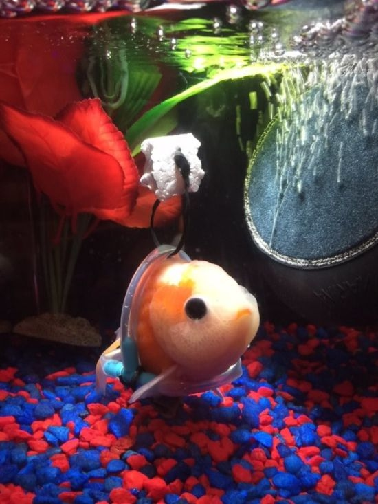 Someone Made A Tiny Wheelchair For A Goldfish With A Bladder Disorder (2 pics)
