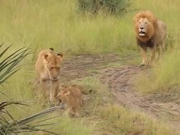 Baby Lion Cubs Trying To Roar Like There Father ROAAA