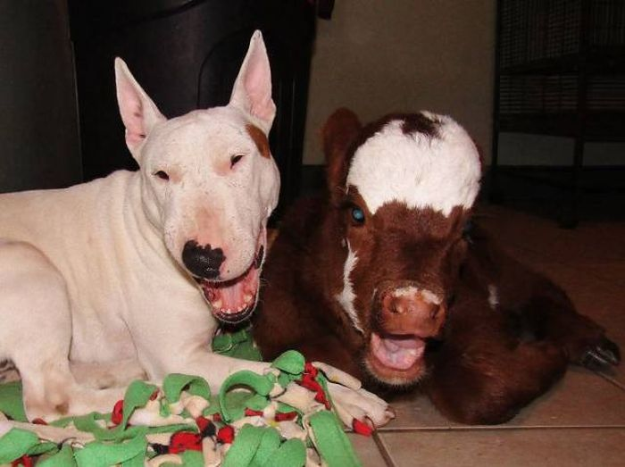 This Cow Seriously Thinks It's A Dog (9 pics)