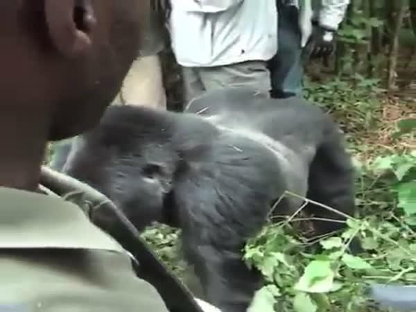Gorilla Dragging A Tourist